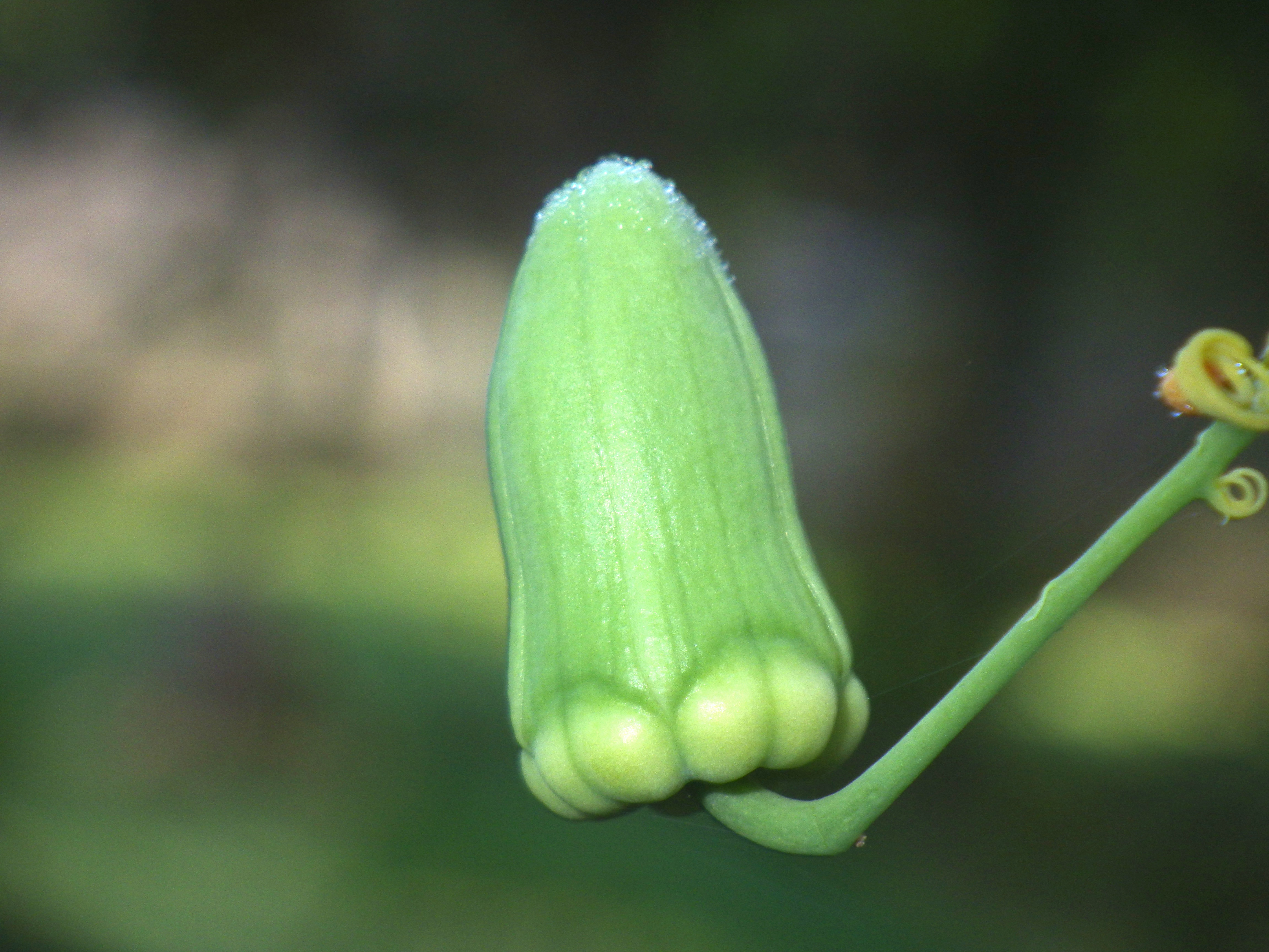 Passiflora arbelaezii